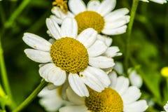 Μικρά λουλούδια μαργαριτών σε έναν κήπο Στοκ φωτογραφία με δικαίωμα ελεύθερης χρήσης