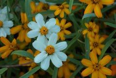 Μικρά λουλούδια στο κρεβάτι κήπων Στοκ Εικόνα