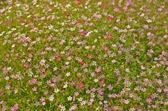 Μικρά λουλούδια του δέντρου αναπνοής μωρών Στοκ Εικόνες