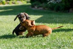 Μικρά παιχνίδια σκυλιών dachshund στον κήπο Στοκ φωτογραφίες με δικαίωμα ελεύθερης χρήσης
