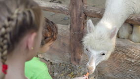 Μικρά παιδιά που ταΐζουν έναν λάμα απόθεμα βίντεο