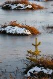 Μικρά πεύκα σε ένα έλος το χειμώνα Στοκ εικόνα με δικαίωμα ελεύθερης χρήσης