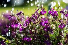 Μικρά πορφυρά άνθη των λουλουδιών κάτω από τις πτώσεις νερού στον κήπο Στοκ εικόνες με δικαίωμα ελεύθερης χρήσης