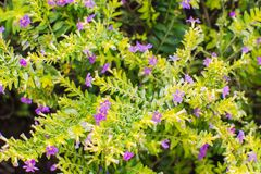 Μικρά πορφυρά λουλούδια με τα πράσινα φύλλα Στοκ φωτογραφία με δικαίωμα ελεύθερης χρήσης