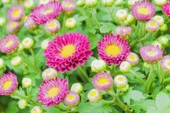 Μικρά πορφυρά λουλούδια χρυσάνθεμων Στοκ Εικόνες