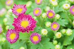 Μικρά πορφυρά λουλούδια χρυσάνθεμων Στοκ φωτογραφία με δικαίωμα ελεύθερης χρήσης