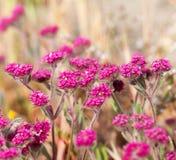 Μικρά πορφυρά λουλούδια Στοκ Εικόνες