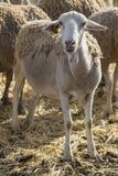 Μικρά πρόβατα, κατοικίδιο ζώο, ζώο αγροκτημάτων στοκ φωτογραφία με δικαίωμα ελεύθερης χρήσης