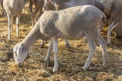 Μικρά πρόβατα που τρώνε, κοπάδι στο αγρόκτημα στοκ φωτογραφίες με δικαίωμα ελεύθερης χρήσης