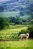 Μικρά πρόβατα στην κορυφή του πράσινου λόφου στη λίμνη περιοχής, UK Στοκ εικόνες με δικαίωμα ελεύθερης χρήσης