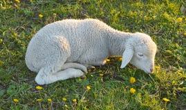 μικρά πρόβατα Στοκ εικόνα με δικαίωμα ελεύθερης χρήσης