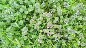 Μικρά ρόδινα λουλούδια στην πράσινη νέα χλόη σε ένα σκοτεινό υπόβαθρο στοκ φωτογραφίες με δικαίωμα ελεύθερης χρήσης