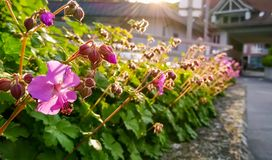 Μικρά, ρόδινα λουλούδια στοκ εικόνα
