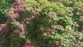 Μικρά ρόδινα λουλούδια Όμορφος κήπος λουλουδιών στοκ φωτογραφία με δικαίωμα ελεύθερης χρήσης
