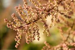 Μικρά ρόδινα μπουμπούκια τριαντάφυλλου Tamarisk την άνοιξη Στοκ Φωτογραφία