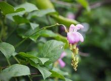 Μικρά ρόδινα λουλούδια με το κόκκινο μυρμήγκι στον κήπο Στοκ εικόνες με δικαίωμα ελεύθερης χρήσης