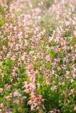 Μικρά ρόδινα λουλούδια που ανθίζουν στον τομέα την άνοιξη Στοκ Εικόνα