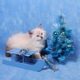 Μικρά σιβηρικά γατάκι και χριστουγεννιάτικο δέντρο στοκ φωτογραφία