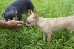 Μικρά σκυλιά για να μυρίσει το χέρι σας προτού να πάρετε άνετοι στοκ εικόνα