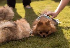 Μικρά σκυλιά που περπατούν στη χλόη Στοκ Εικόνες