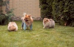 Μικρά σκυλιά που περπατούν στη χλόη Στοκ φωτογραφία με δικαίωμα ελεύθερης χρήσης
