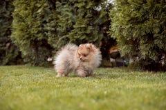 Μικρά σκυλιά που περπατούν στη χλόη Στοκ φωτογραφίες με δικαίωμα ελεύθερης χρήσης