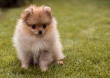 Μικρά σκυλιά που περπατούν στη χλόη Στοκ Φωτογραφίες
