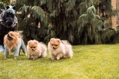 Μικρά σκυλιά που περπατούν στη χλόη Στοκ εικόνες με δικαίωμα ελεύθερης χρήσης