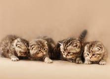 Μικρά σκωτσέζικα γατάκια πτυχών στοκ φωτογραφία