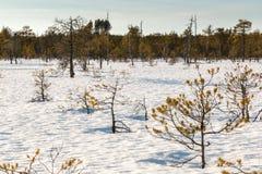 Μικρά σταματημένα δέντρα πεύκων που αυξάνονται σε ένα χιονισμένο σκανδιναβικό έλος Στοκ Εικόνα