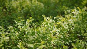 Μικρά φύλλα των βακκινίων στο δάσος φιλμ μικρού μήκους