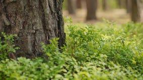 Μικρά φύλλα των βακκινίων στο δάσος απόθεμα βίντεο