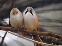 Μικρά χαριτωμένα άσπρα πορτοκαλιά και μικρά μπλε πουλιά που κάθονται στο στηθόδεσμο Στοκ φωτογραφία με δικαίωμα ελεύθερης χρήσης