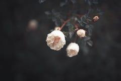 Μικρά χαριτωμένα άσπρα τριαντάφυλλα στους θάμνους Στοκ Εικόνα