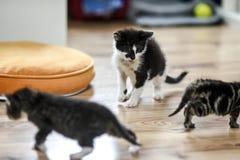 Μικρά χαριτωμένα γατάκια που παίζουν στο σπίτι Στοκ Εικόνες
