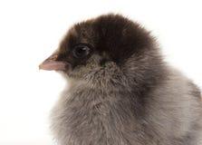 Μικρά χνουδωτά κοτόπουλα Στοκ φωτογραφία με δικαίωμα ελεύθερης χρήσης