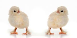 Μικρά χνουδωτά κοτόπουλα Στοκ εικόνες με δικαίωμα ελεύθερης χρήσης