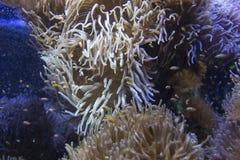 Μικρά ψάρια κλόουν σε ένα γιγαντιαίο anemone Στοκ φωτογραφία με δικαίωμα ελεύθερης χρήσης