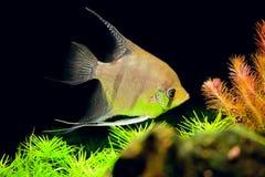 Μικρά ψάρια Aquarian - Pterophyllum scalare Στοκ Εικόνες