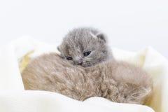 Μικρά όμορφα σκωτσέζικα γατάκια σε ένα ελαφρύ μαλακό καρό Στοκ φωτογραφίες με δικαίωμα ελεύθερης χρήσης