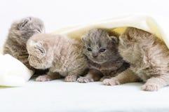 Μικρά όμορφα σκωτσέζικα γατάκια σε ένα ελαφρύ μαλακό καρό Στοκ Φωτογραφίες