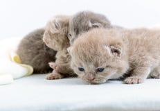 Μικρά όμορφα σκωτσέζικα γατάκια σε ένα ελαφρύ μαλακό καρό Στοκ εικόνες με δικαίωμα ελεύθερης χρήσης
