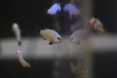 Μικρά anemonefishes Στοκ Εικόνα