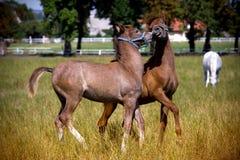 Μικρά foals που τρέχουν στο pastur Στοκ φωτογραφίες με δικαίωμα ελεύθερης χρήσης