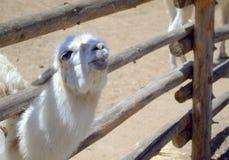 Μικρά llama φιλιά Στοκ Φωτογραφία