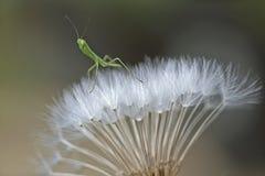 Μικρά mantis Στοκ εικόνες με δικαίωμα ελεύθερης χρήσης