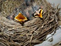 μικρά robins Στοκ Εικόνα