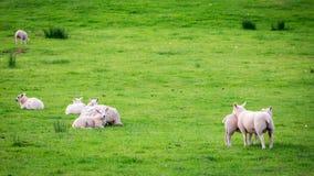 Μικρά sheeps στο πράσινο λιβάδι στη λίμνη περιοχής, UK Στοκ φωτογραφίες με δικαίωμα ελεύθερης χρήσης