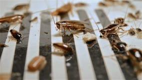 Μικρές κατσαρίδες πλάγιας όψης που αγωνίζονται catcher φιλμ μικρού μήκους