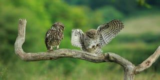 Μικρές κουκουβάγιες (noctua Athene) Στοκ Εικόνα